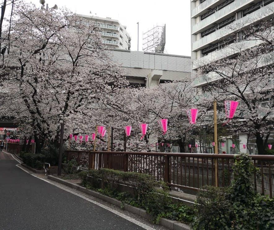 目黒川桜並木246南