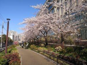 目黒川北桜