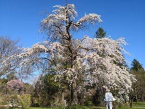 花の丘近くのしだれ桜