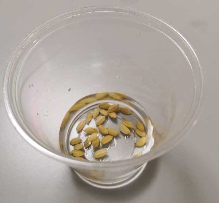 種籾(たねもみ)1日目
